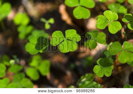 Clover Leafs In Forest
