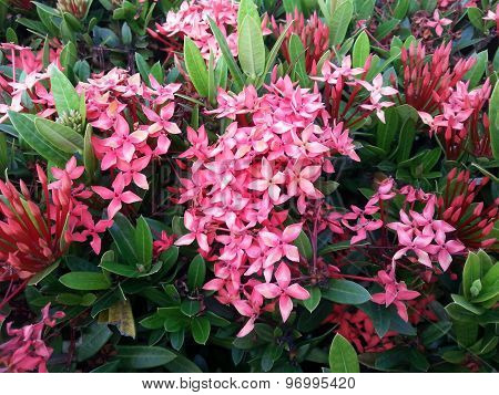 Flowers grouped of Egyptian star.