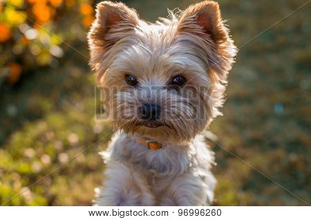 Closeup Portrait Of Yorkshire Terrier Dog On The Grass