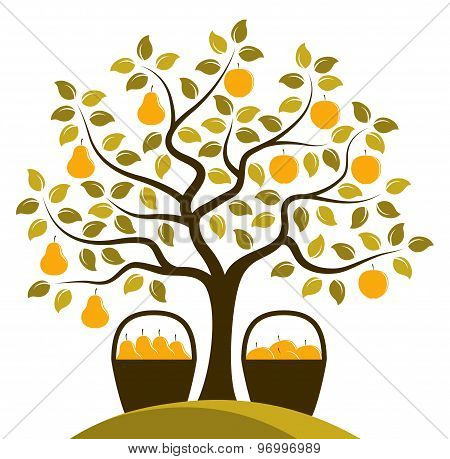 Apples And Pears On One Tree
