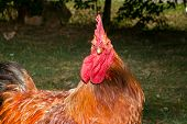 picture of roosters  - A red rooster in the poultry yard - JPG