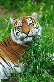 Постер, плакат: Tiger