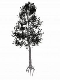 pic of pinus  - Austrian or black pine - JPG