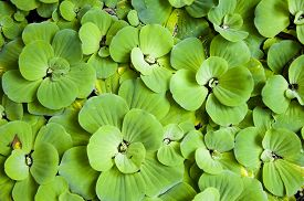 pic of fern  - Background with leaves of green water fern mosquito fern close up floating in a garden pond - JPG