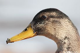 pic of gadwall  - female gadwall anas strepera , side view  head close up