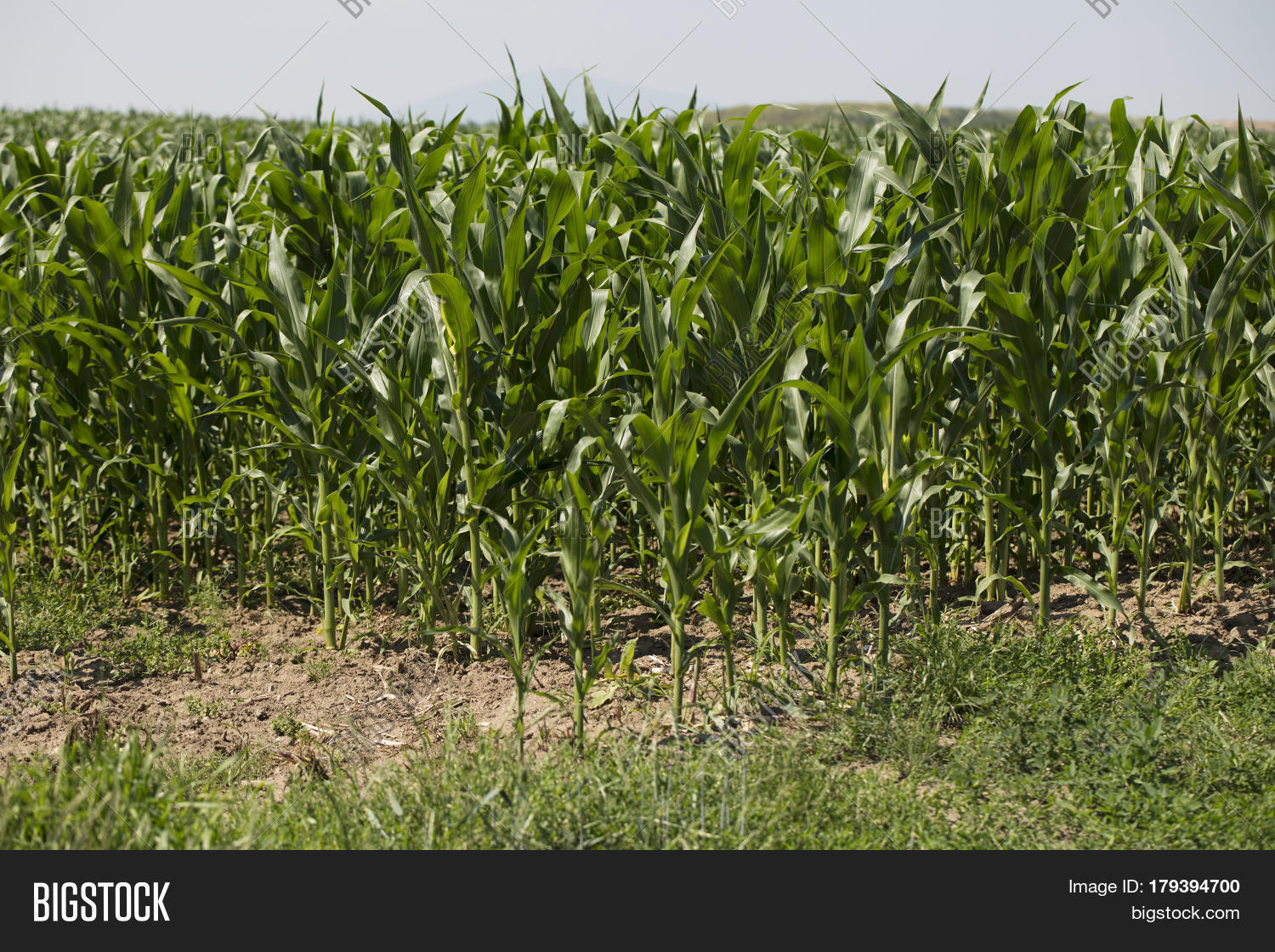 Cornfield During Summer. Background Image & Photo | Bigstock