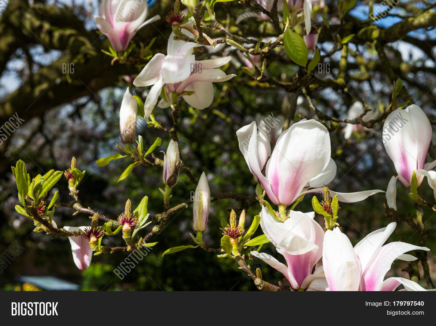 Pink Purple Magnolia Tree Blooming Image & Photo | Bigstock