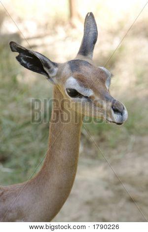 Gerenuk 3