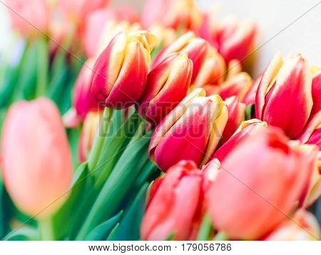 Fresh red tulips on blurred white background