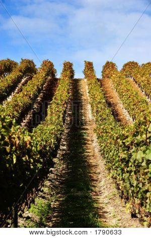 Grape Vines At Vineyard - Portrait