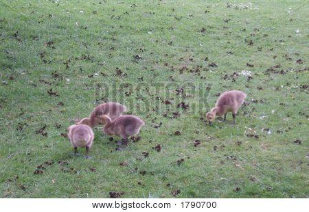 Canada Geese Gooslings