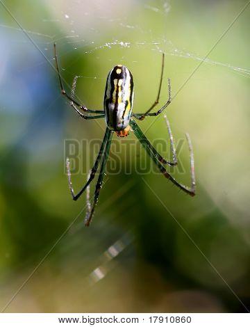 Orchard Spider (Leucauge venusta)