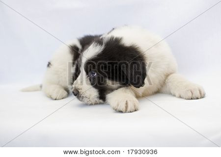 Black And White Romanian Mioritic Shepherd Puppy Isolated