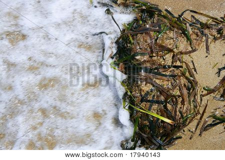 Algae from Mediterranean, green seaweed in the coastline water