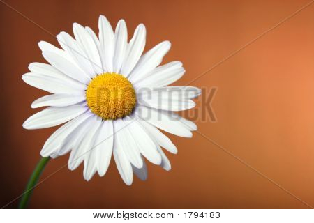 Daisy On Colored Background