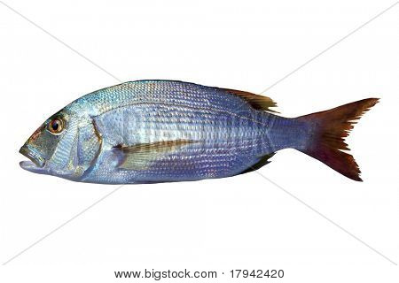 Dentex vulgaris toothed sparus snapper fish isolated on white