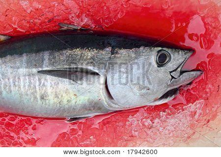 Thun Thunnus Thynnus Meeresfisch blutiges Eis