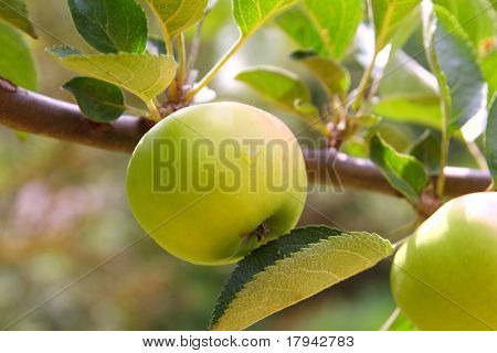 Apple green fruit tree branch with leaves