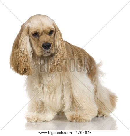 American Cocker Spaniel (1 Year)