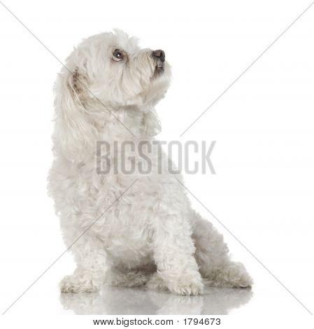 maltesischen Hund (9 Jahre)