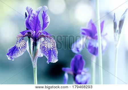 violet iris on blurred background with bokeh