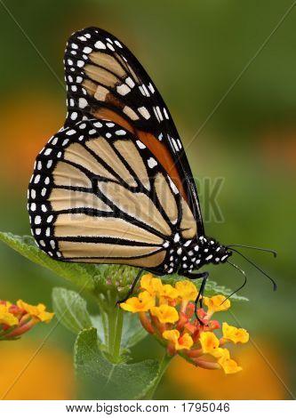 Monarch King