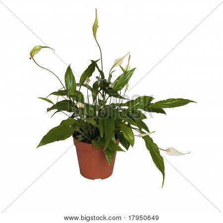 Spathiphyllum Wallisii.