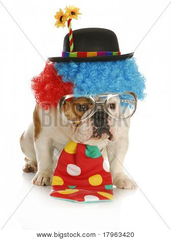 clown - english bulldog wearing clown costume with glasses on white background