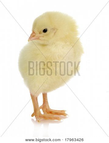 adorable baby chick - one day old on white background