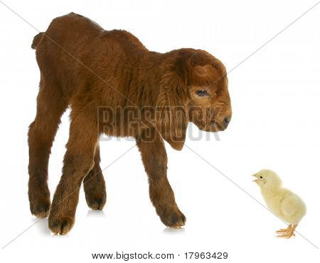 newborn goat being told off by day old chick on white background