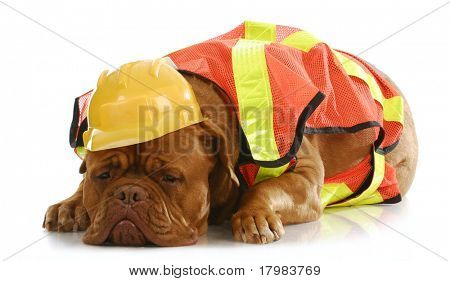 working dog - dogue de bordeaux dressed up like a construction worker