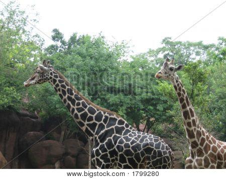 Giraffe Parents