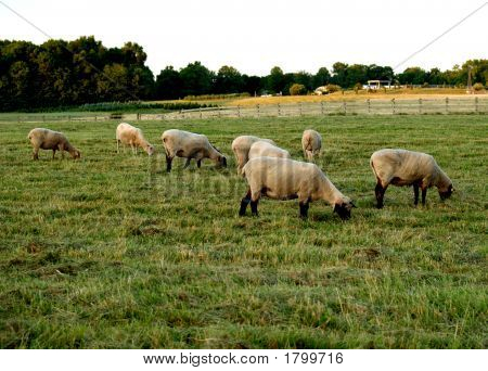 Sheep On The Farm