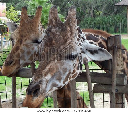 Portrait of 2 Giraffes