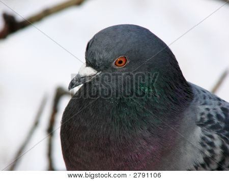 Wise Pigeon