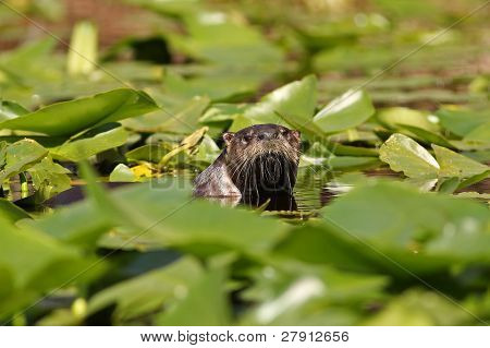 River Otter Peering over Lily Pads