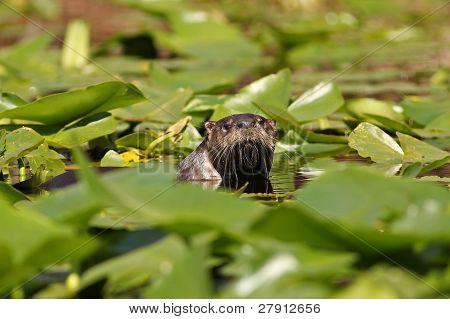 Rio lontra, espiando por cima lírios