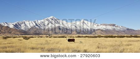 A Cow And The Snow Covered Huachuca Mountains