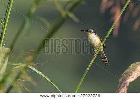 Ashy Prinia Bird resting on a perch