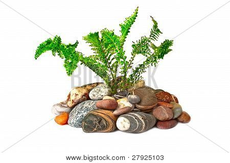 Young Green Fern Growing On Naked Stones, Isolated On  White Background.