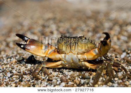 Stone Crab (eriphia Verrucosa)