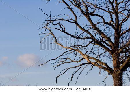 Dead Oak Branches