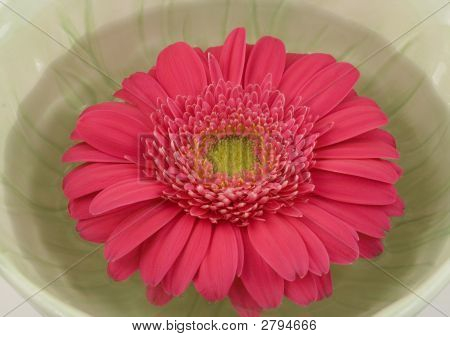 Pink Gerbera Daisy Floating  In A Green Bowl