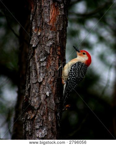 Wily  Woodpecker