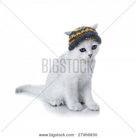 Kitten of the British breed. Rare coloring - a silvery chinchilla