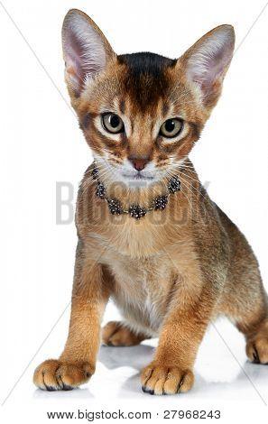 Abyssinian kitten. Age - 2 month