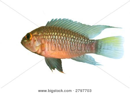 Apistogramma Sp. Nanay Over White
