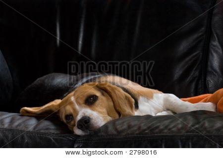 Lazy Beagle