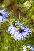Close-up Of Nigella Damascena, Love-in-a-mist, Devil In The Bush Flowers, Selective Focus, Natural B poster