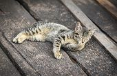 Tabby Cat On Wooden Floor / The Cute Cat Black And Wrown Lying - Asia Thai Cat Animal Pet Countrysid poster